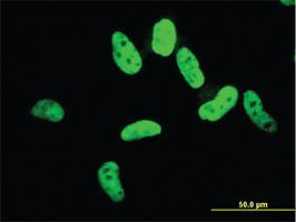 Anti-ZNF207 Mouse Monoclonal Antibody